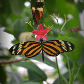 Isabella Butterflies
