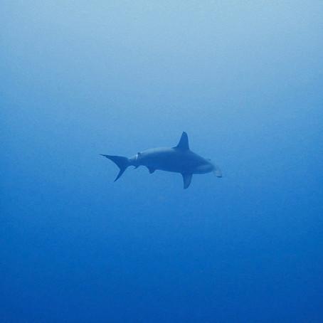 Tubarão Martelo em Yonaguni
