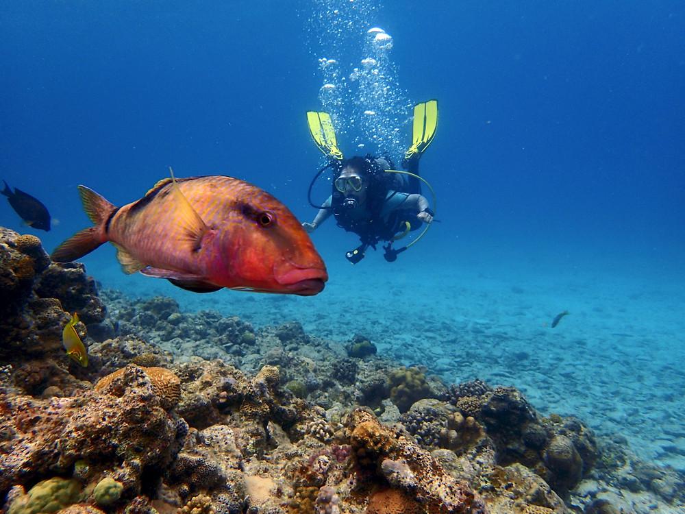 O peixe apareceu ser maio que a mergulhadora - Aloha Divers Okinawa