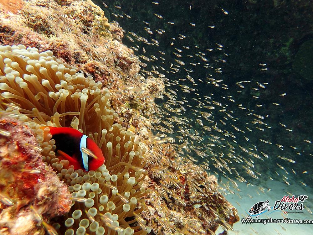 Peixe Palhaço - Aloha Divers Okinawa