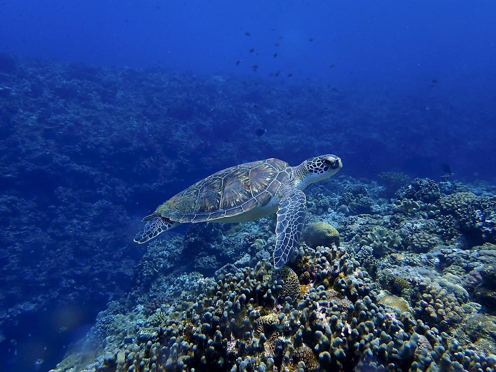 Tartaruga em Kerama - Mergulho em Okinawa