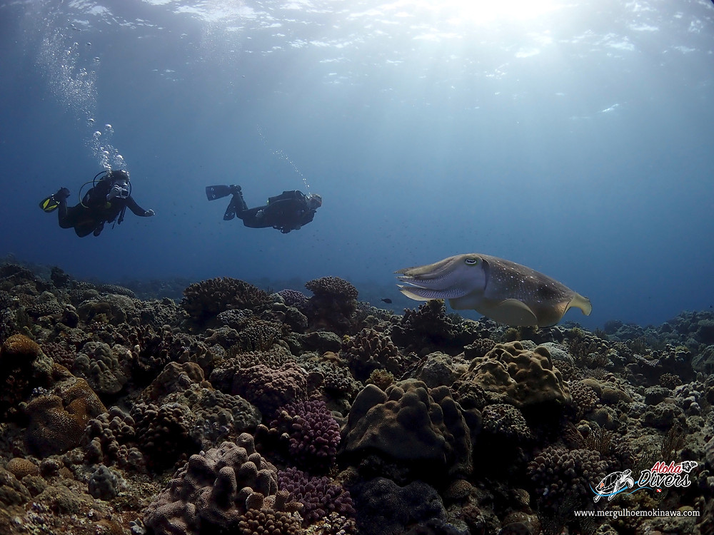 Giant cuttlefish- Aloha Divers Okinawa