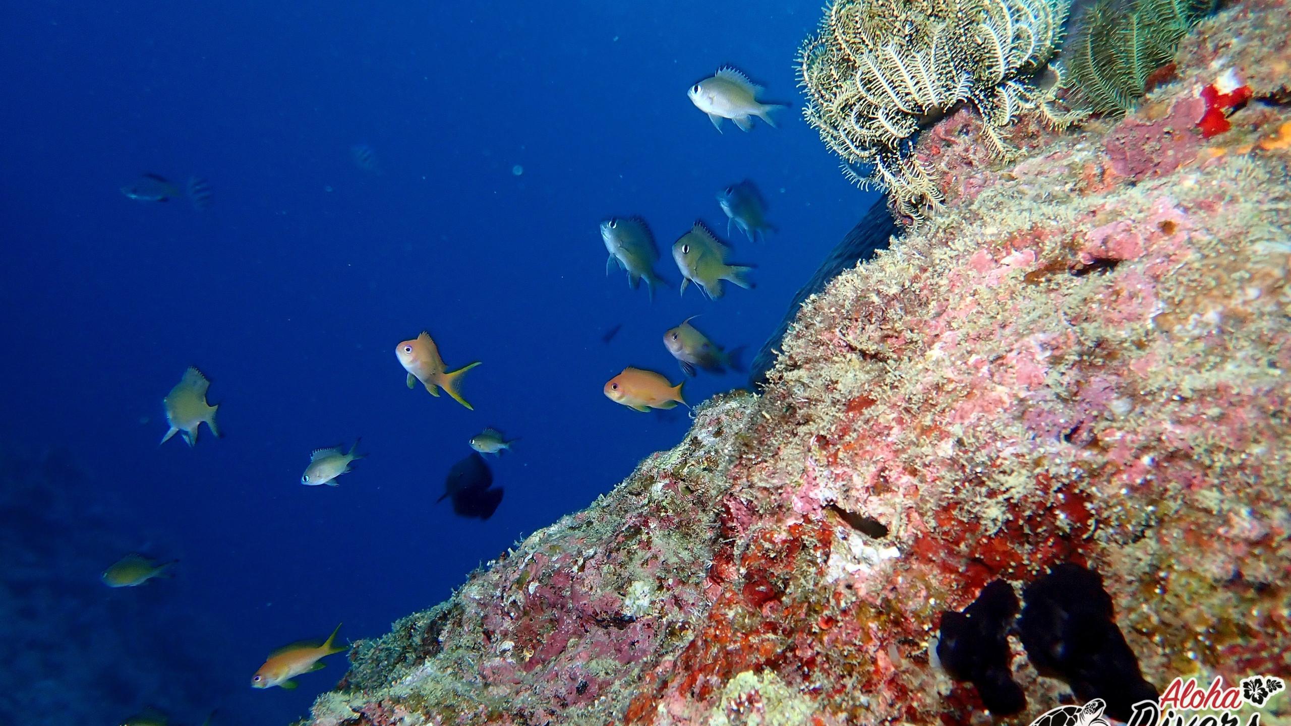 Okinawa Diving with Aloha Divers Okinawa - Mergulho em Okinawa
