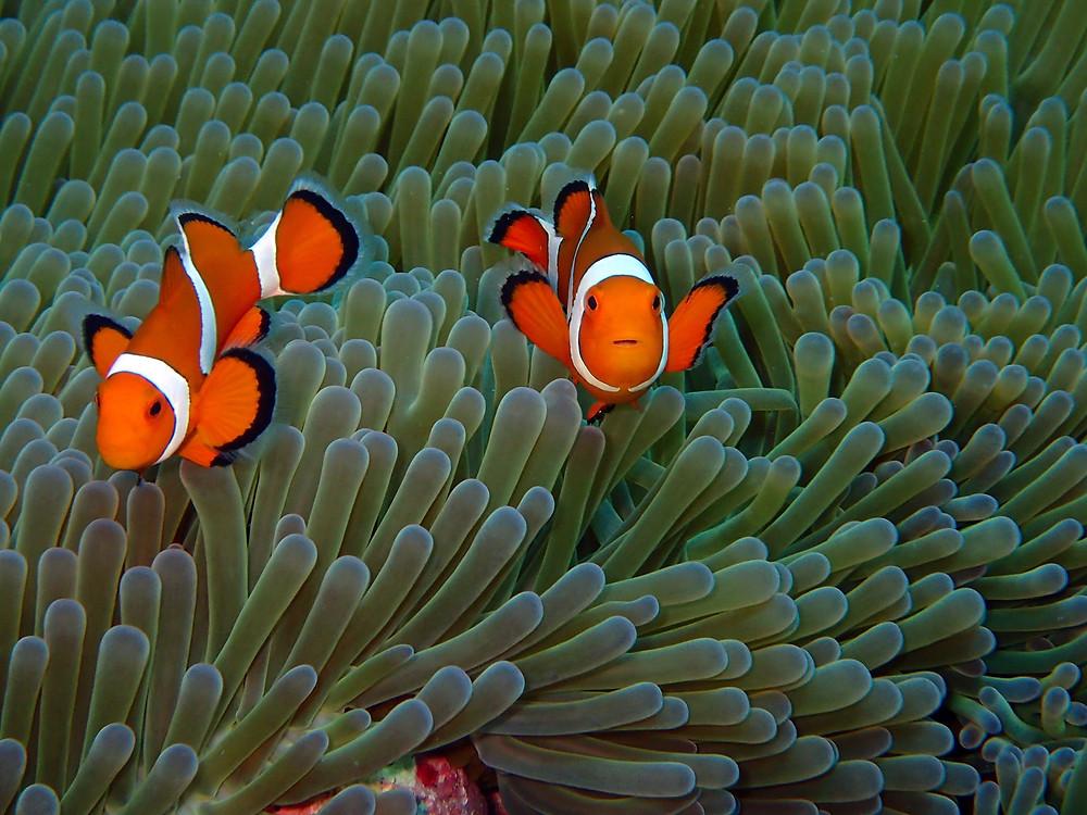 Peixe palhaço Nemo em Kerama - Mergulho em Okinawa