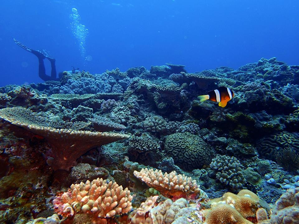 Peixe Palhaço - Aloha Diver Okinawa - Mergulho em Okinawa