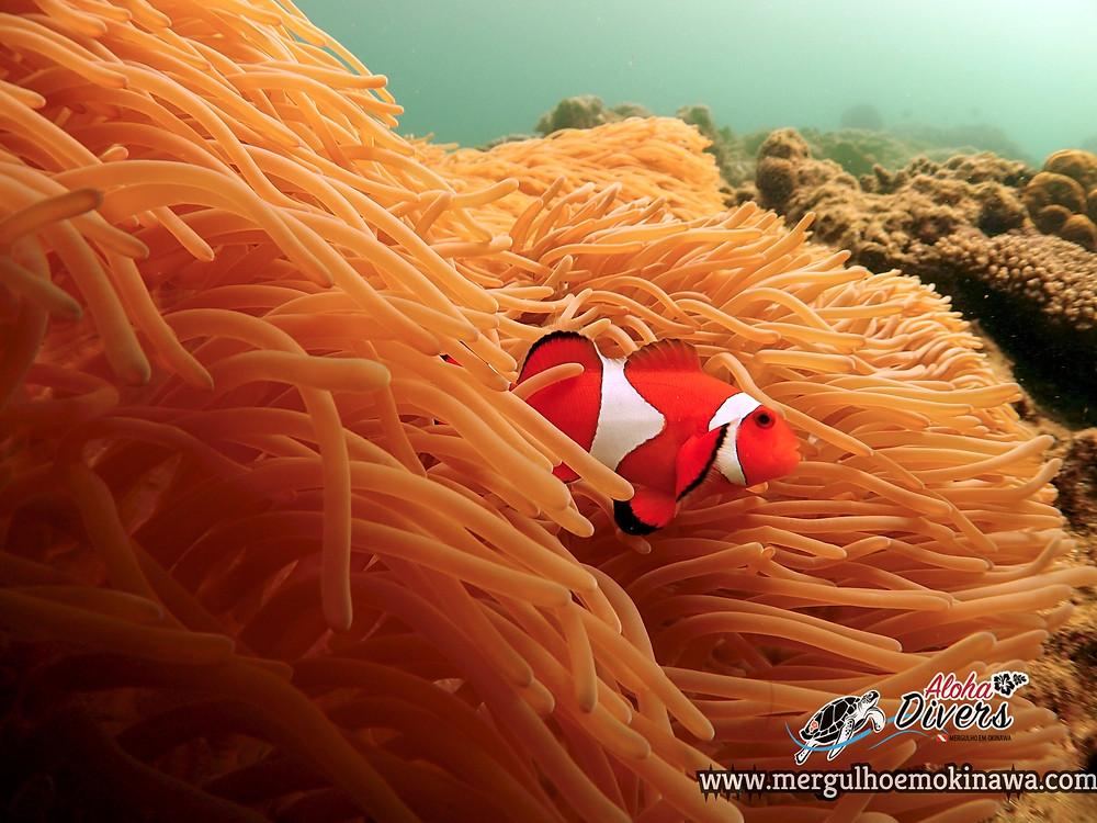 Peixe Palhaço Nemo - Aloha Divers Okinawa - Mergulho em Okinawa