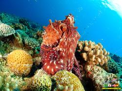 Day Ocotopus - Aloha Divers Okinawa