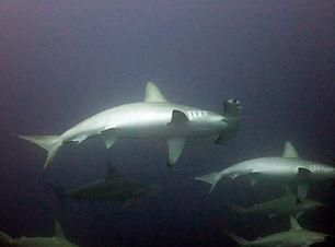 Tubarão_Martelo_em_Yonaguni_-_Aloha_Dive