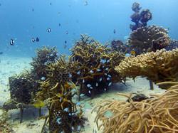 Coral de Yamada - Mergulho em Okinawa
