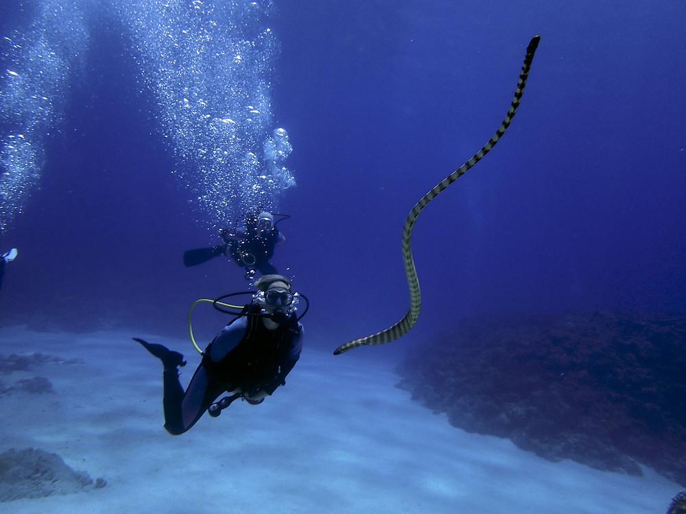 Mergulhador com a cobra do mar nas Ilhas de Kerama