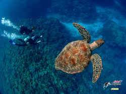 Snorkeling with Turtle - Aloha Divers