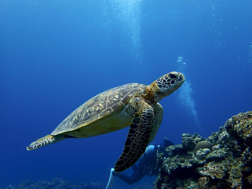 Tartaruga - Aloha Divers Okinawa