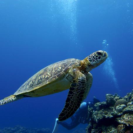O Paraíso das Tartarugas - Aloha Divers Okinawa