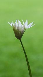 02 - Allium_ursinum.jpg