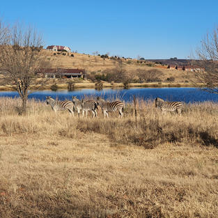 Zebras at one of the main dams