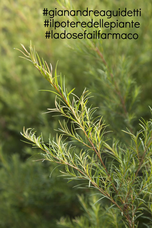 Melaleuca alternifolia o Tea Tree