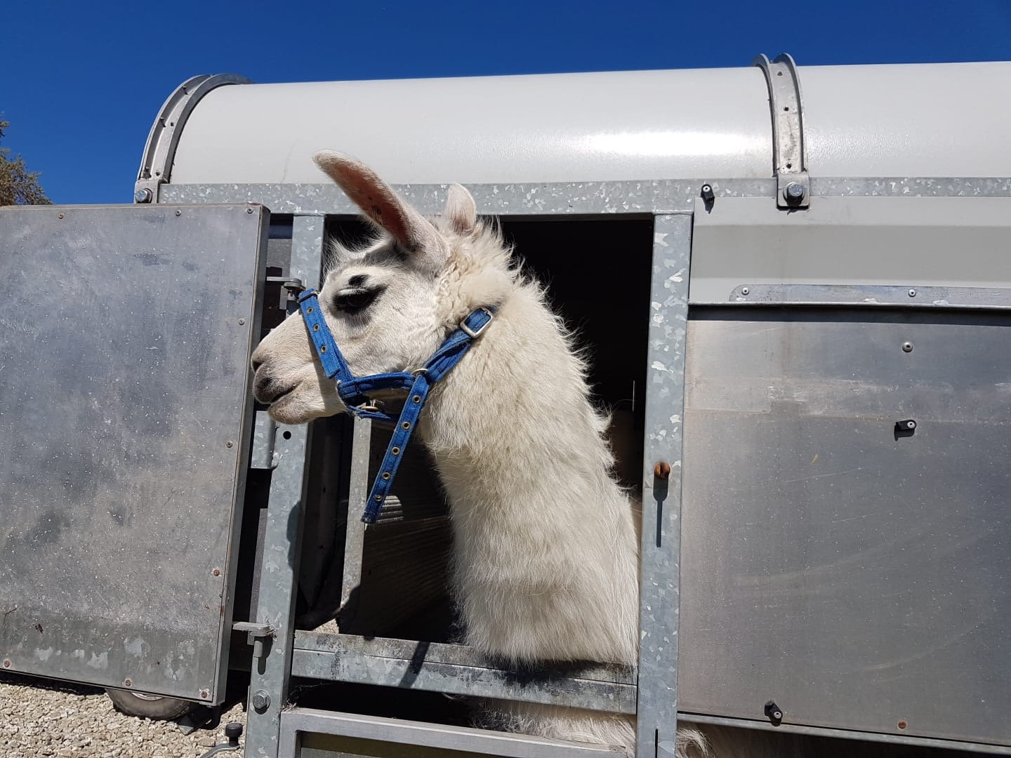 """""""Leo the Llama"""" Comes to visit you"""