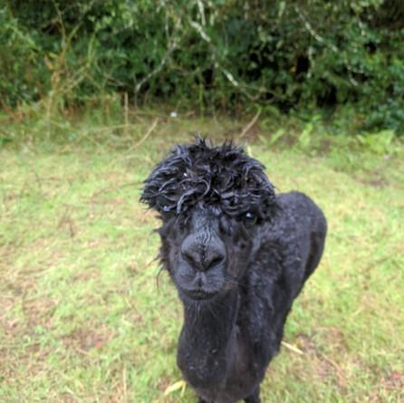 KONG after shearing