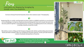 Wild Life in the City #3 - Fig Trees