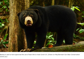 FMT: Malaysian bears in peril as China pushes cure for Covid-19