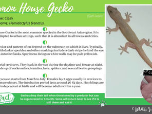 Wild Life in the City #5 - Common House Gecko