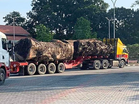 Uproar over loss of big tree