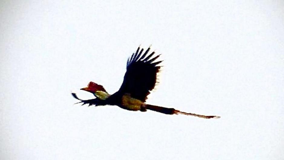 'Save Helmeted Hornbills'