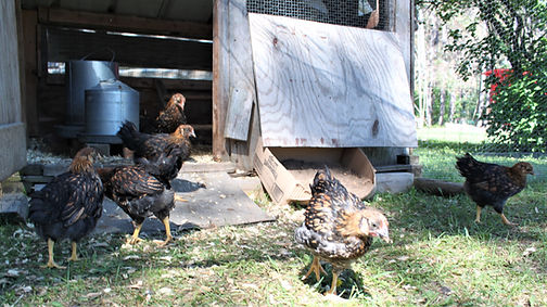 Chickens13Jun19f.jpg