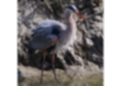 great blue heron.png