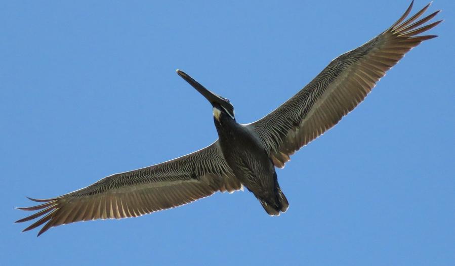 brown pelican.png