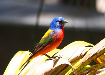 painted bunting.png