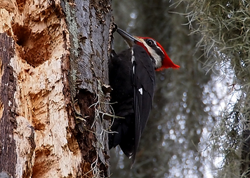 pileated woodpecker.png