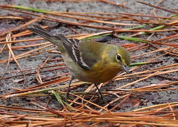 pine warbler.png