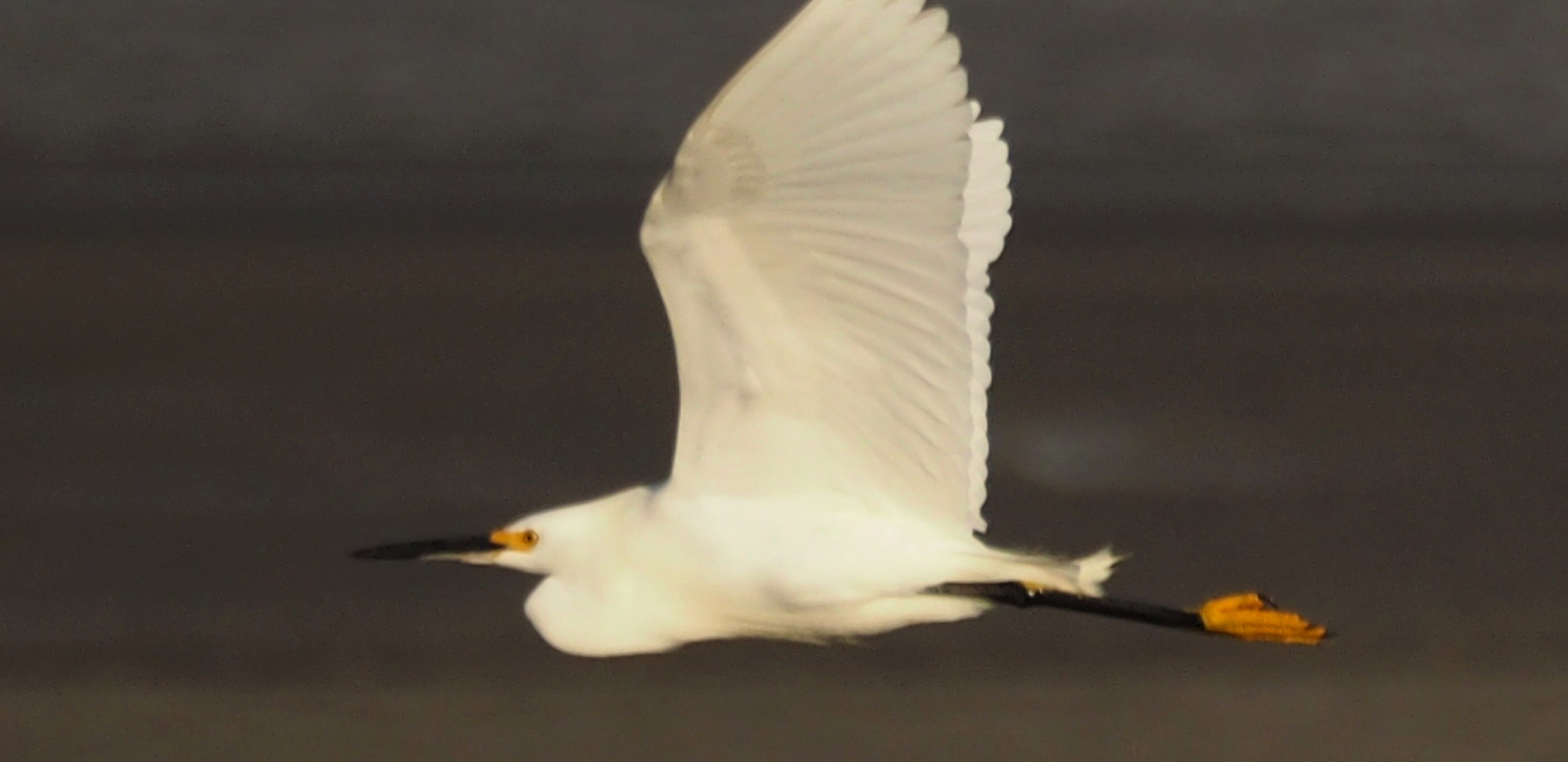 snowy egret.png