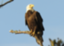 bald eagle.png