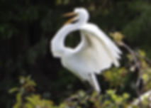 great egret.png