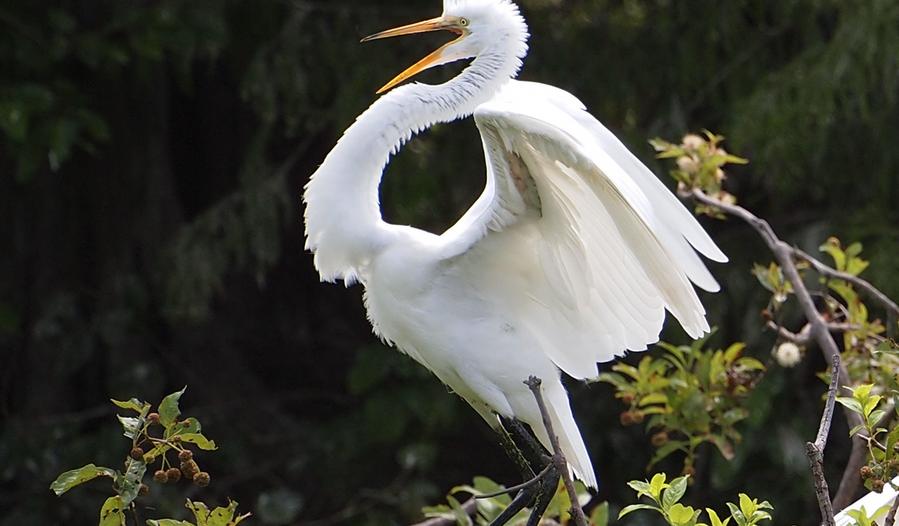 great egret.png