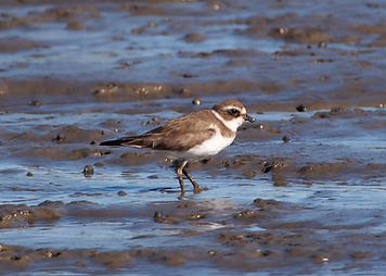 piping plover.png