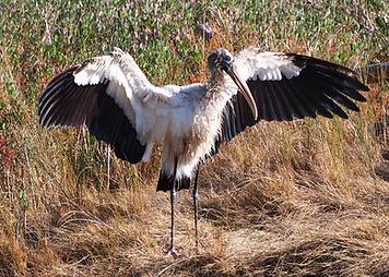 Wood Stork.png
