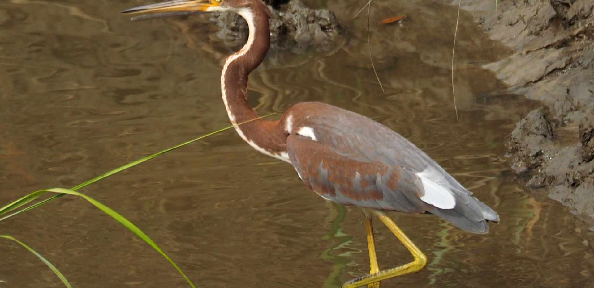 tricolored heron.png