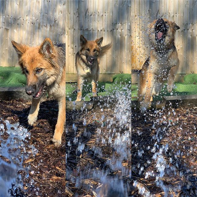 Keep cool guys #gsdofinstagram #gsdlove