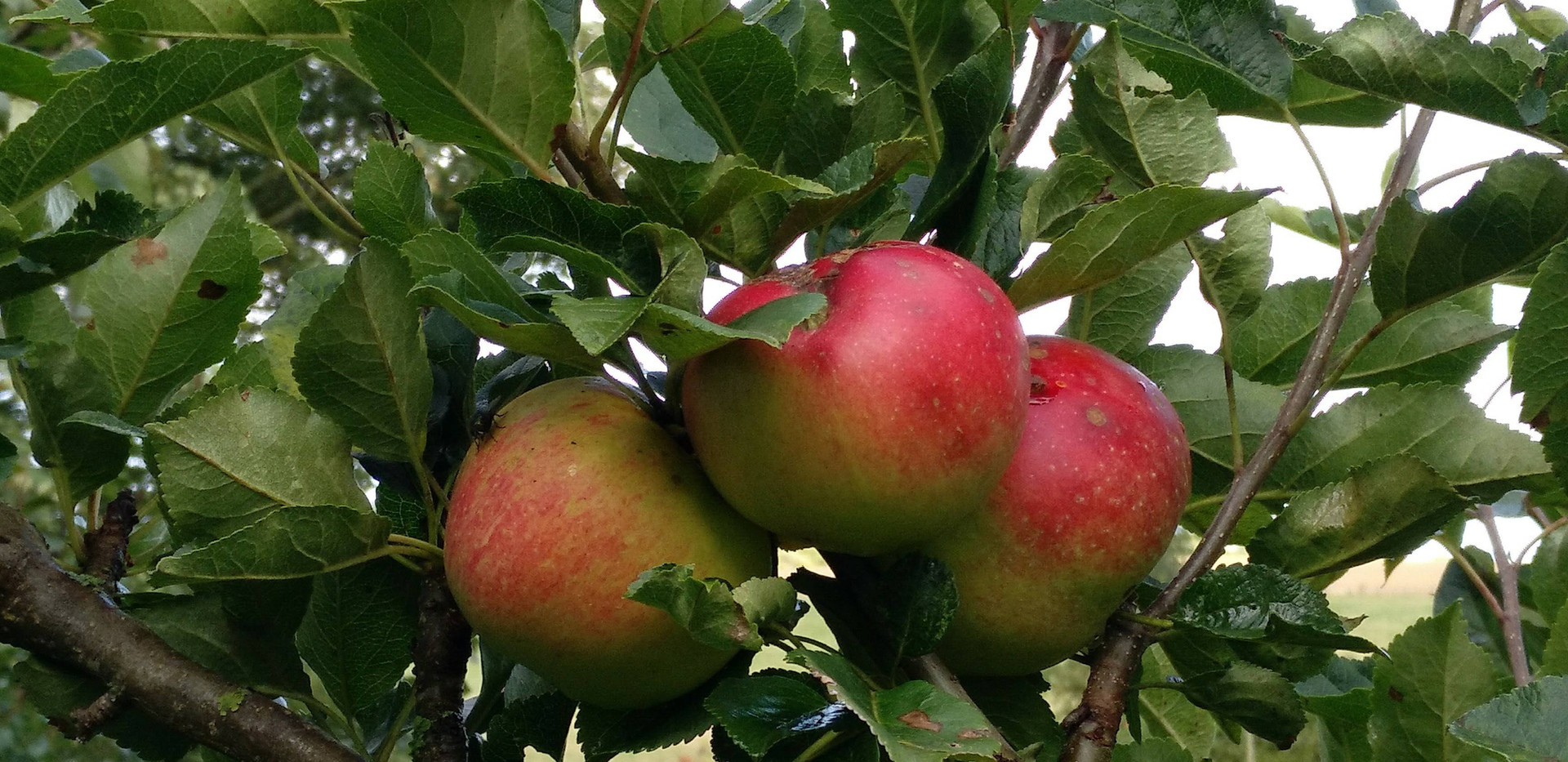 Our Orchards