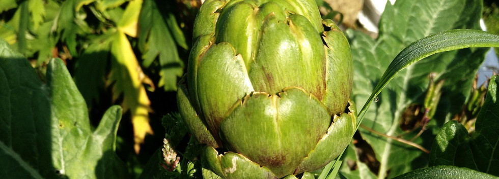 Globe artichokes are another firm favourite around here