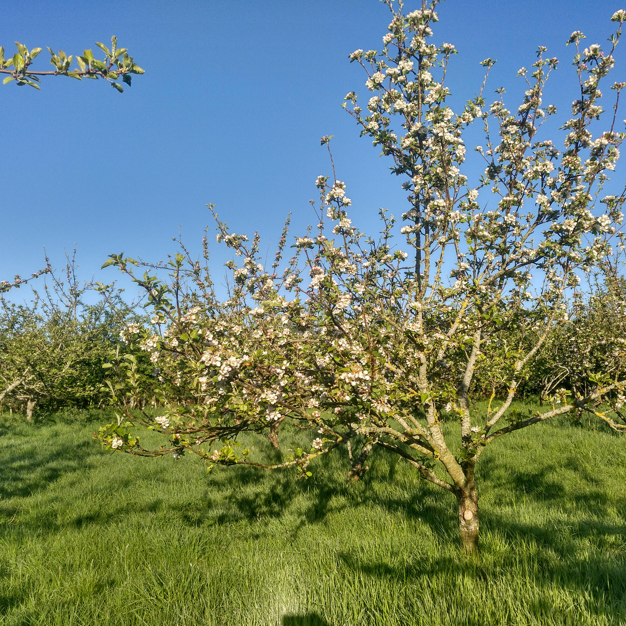 Old apple orchard in full bloom