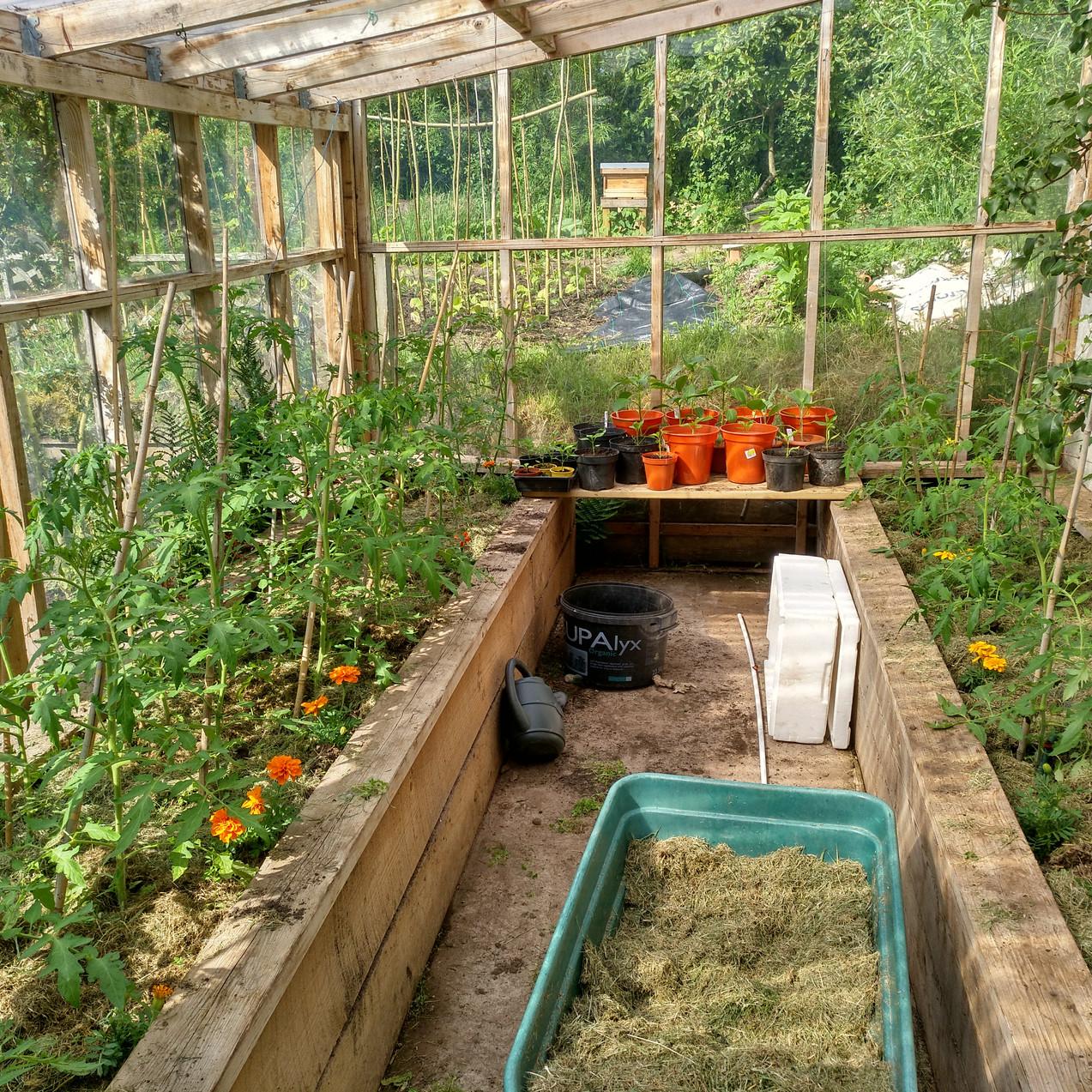 Tomato plants galore