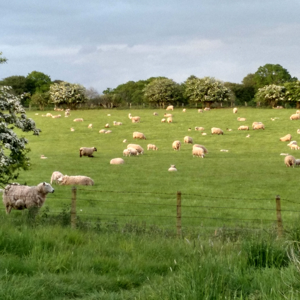 Sheep and lambs back on the land