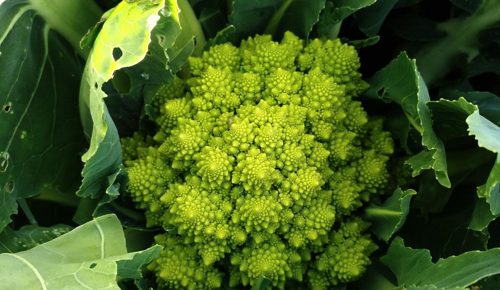 Romanesco cauliflowers