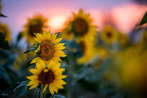 Sunflower Field 8
