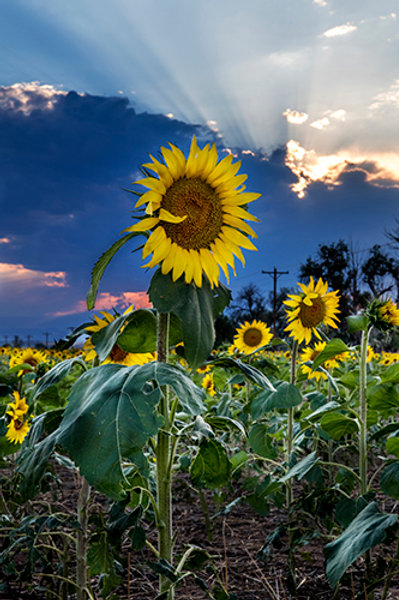 Sunflower Field 5
