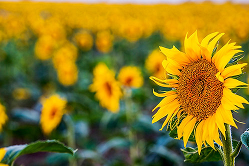 Sunflower Field 4